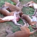 12頭の猿、近くにいた虎にビビり心臓発作を起こして同時死亡するミラクル集団死亡事件発生。(動画)