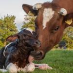 【衝撃】海外で二足歩行の子牛が撮影される。ちょっとキモイ・・・(動画)