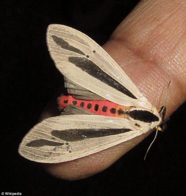 【閲覧注意】マジでキツイ新種の「蛾」が発見される。(画像・動画)・1枚目