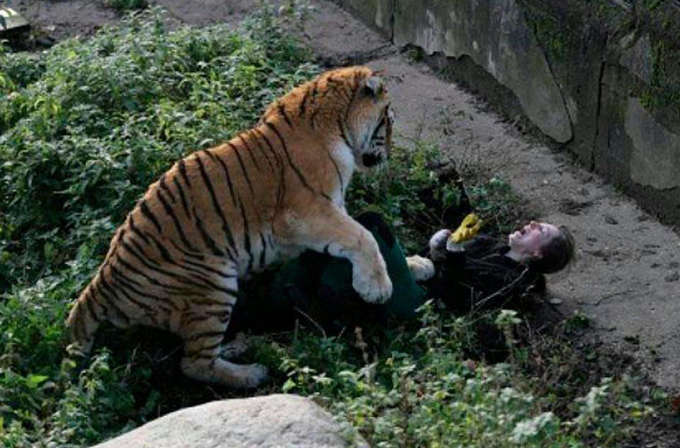 【衝撃】動物園のトラが飼育員をガチで食いにかかる。(画像)・2枚目