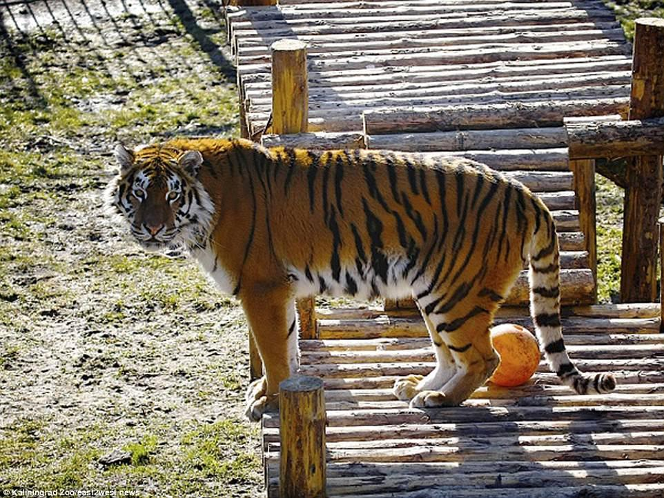 【衝撃】動物園のトラが飼育員をガチで食いにかかる。(画像)・3枚目
