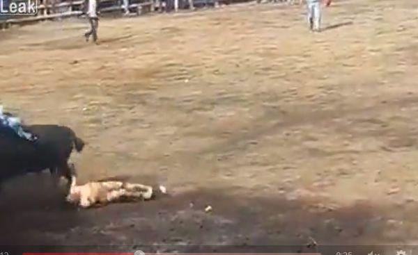【凄惨】一発目のあと牛の真ん前で目を覚ました闘牛士ニキ、タイミング悪すぎ・・・・・(動画、画像)・3枚目