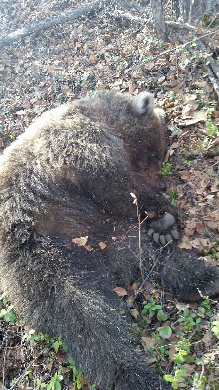 【グロ注意】ロシアでヒグマに襲われた女性、全身齧られるも奇跡の生還!!・4枚目