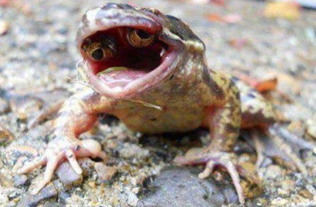 【進化失敗】突然変異のカエルさん、とんでもない場所に目が出来てしまう・・・・・(画像)・1枚目