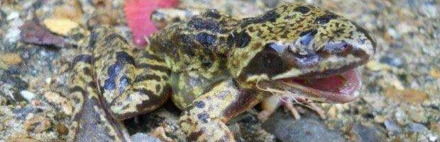 【進化失敗】突然変異のカエルさん、とんでもない場所に目が出来てしまう・・・・・(画像)・2枚目