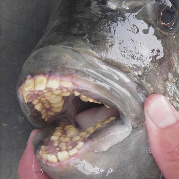 【閲覧注意】生物のちょっとグロい画像、鯉の口内の寄生虫が完全にエイリアンだコレ・・・・・(画像)・16枚目