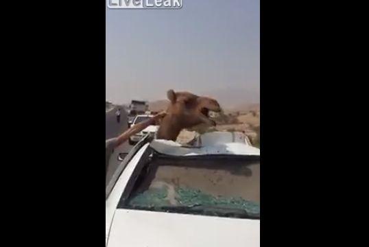 【大事故】車に轢かれたラクダ、車のボディのメリ込むもまだ生きてる・・・・・(動画)・1枚目