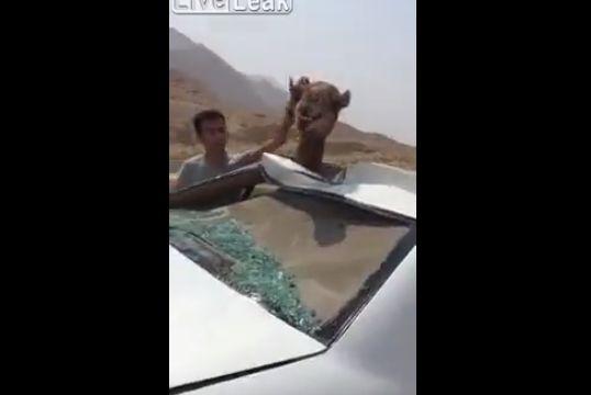 【大事故】車に轢かれたラクダ、車のボディのメリ込むもまだ生きてる・・・・・(動画)・2枚目