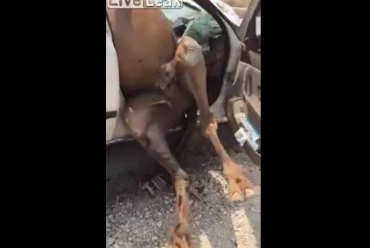 【大事故】車に轢かれたラクダ、車のボディのメリ込むもまだ生きてる・・・・・(動画)・3枚目