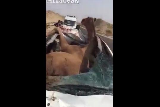 【大事故】車に轢かれたラクダ、車のボディのメリ込むもまだ生きてる・・・・・(動画)・4枚目