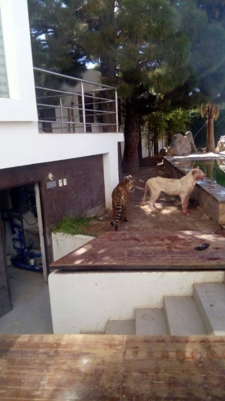 【ハードラック】大金持ちの家に侵入した泥棒、ペットのトラとライオンに襲われて・・・・・(画像)・2枚目