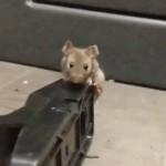 【自然の掟】罠に引っかかってしまったこの可愛いネズミの運命、これは過酷・・・・・(動画)