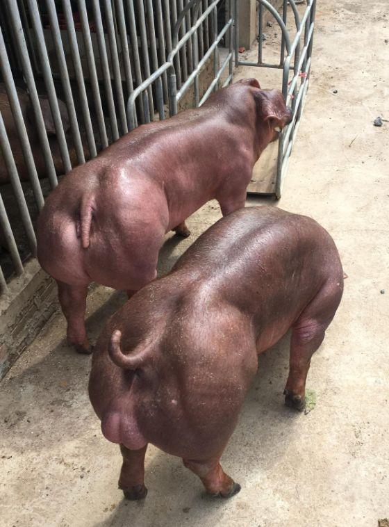 【マッチョ豚】カンボジアで生まれた激マッチョな突然変異豚、採精されまくって増やされる(画像)・2枚目
