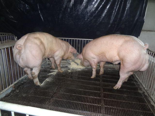 【マッチョ豚】カンボジアで生まれた激マッチョな突然変異豚、採精されまくって増やされる(画像)・4枚目