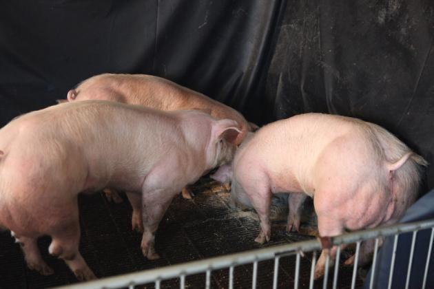 【マッチョ豚】カンボジアで生まれた激マッチョな突然変異豚、採精されまくって増やされる(画像)・7枚目