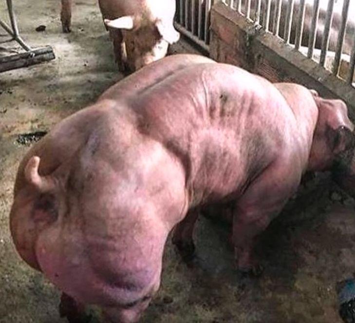 【マッチョ豚】カンボジアで生まれた激マッチョな突然変異豚、採精されまくって増やされる(画像)・9枚目