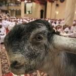 """【リアルUMA】現代の生けるUMAと言われる""""ダマスカスヤギ""""、これがブサ可愛いってマジか・・・・・(画像)"""