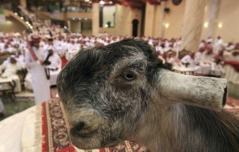 """【リアルUMA】現代の生けるUMAと言われる""""ダマスカスヤギ""""、これがブサ可愛いってマジか・・・・・(画像)・5枚目"""
