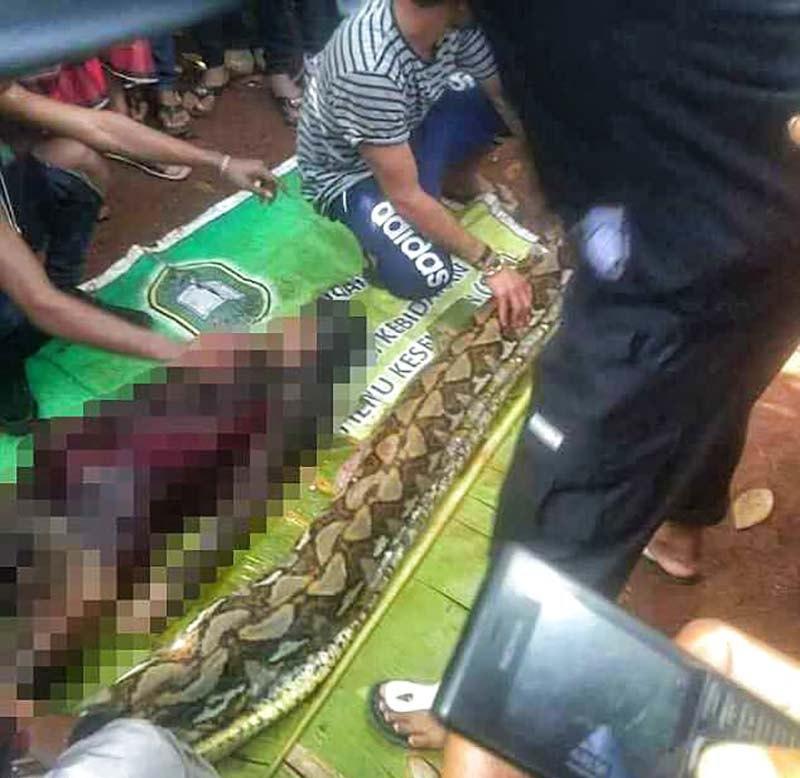 【閲覧注意】インドネシアで巨大ニシキヘビに丸呑みされた女性、腹の中から発見される・・・・・(動画)・4枚目