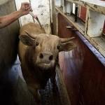 【ショッキング】メキシコ屠殺場で食肉へと加工される動物たち、家畜さんの目がヤバい・・・・・(画像)