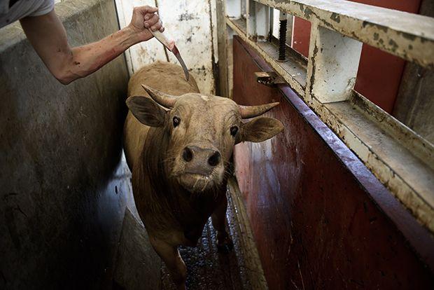【ショッキング】メキシコ屠殺場で食肉へと加工される動物たち、家畜さんの目がヤバい・・・・・(画像)・1枚目