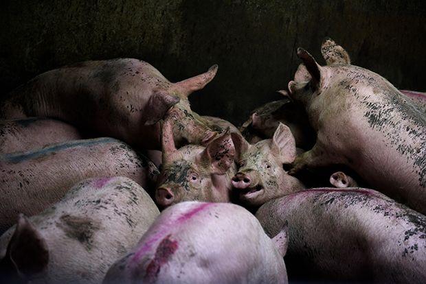 【ショッキング】メキシコ屠殺場で食肉へと加工される動物たち、家畜さんの目がヤバい・・・・・(画像)・3枚目