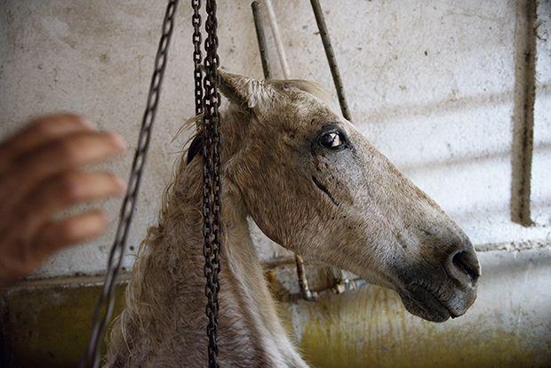 【ショッキング】メキシコ屠殺場で食肉へと加工される動物たち、家畜さんの目がヤバい・・・・・(画像)・6枚目