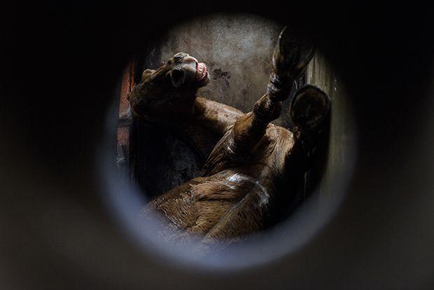 【ショッキング】メキシコ屠殺場で食肉へと加工される動物たち、家畜さんの目がヤバい・・・・・(画像)・8枚目
