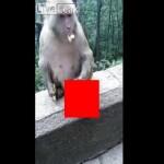 【惨い】死んだ我が子がミイラになっても尚抱き続ける親猿、これは悲しい・・・・・(動画)