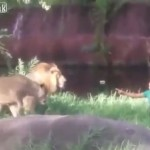 【奇跡】ライオンの檻に落下した男性、ライオンに説教しながらも無事救助される!!