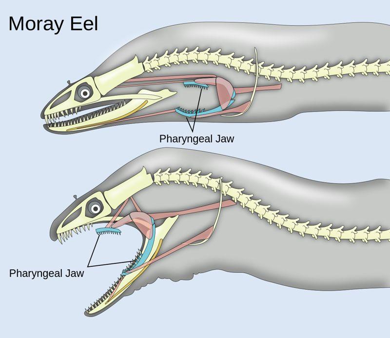 【恐怖】多くの魚が持つ咽頭顎という喉の奥の第二の口、マジでエイリアンだコレ・・・・・(画像)・5枚目
