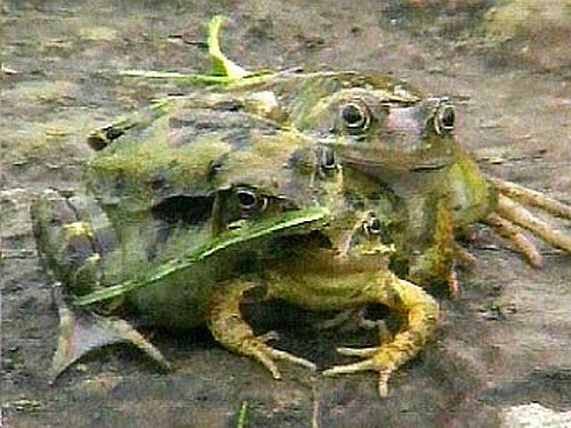 【閲覧注意】世にも珍しい結合双生児の動物、グロじゃないけどちょっとキツい・・・・・(画像)・6枚目