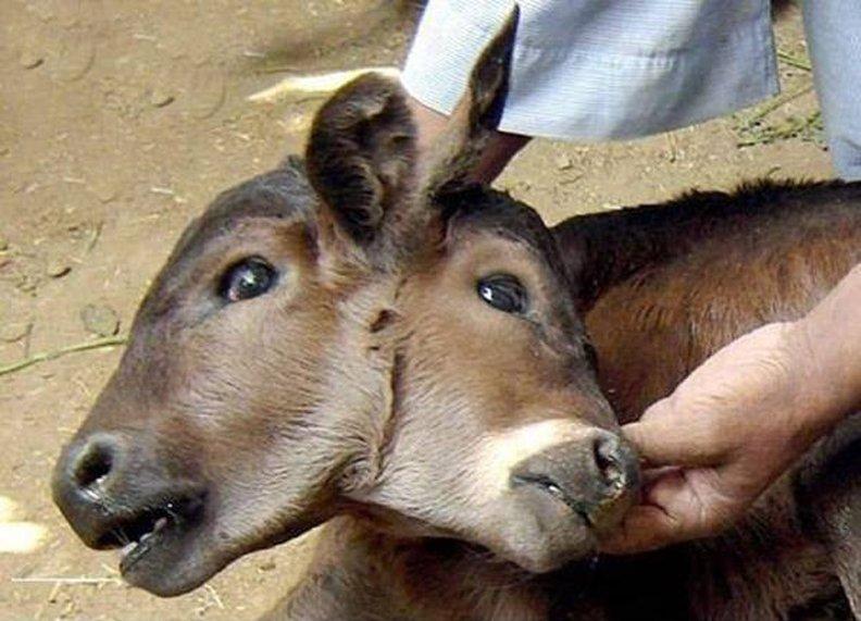 【閲覧注意】世にも珍しい結合双生児の動物、グロじゃないけどちょっとキツい・・・・・(画像)・12枚目