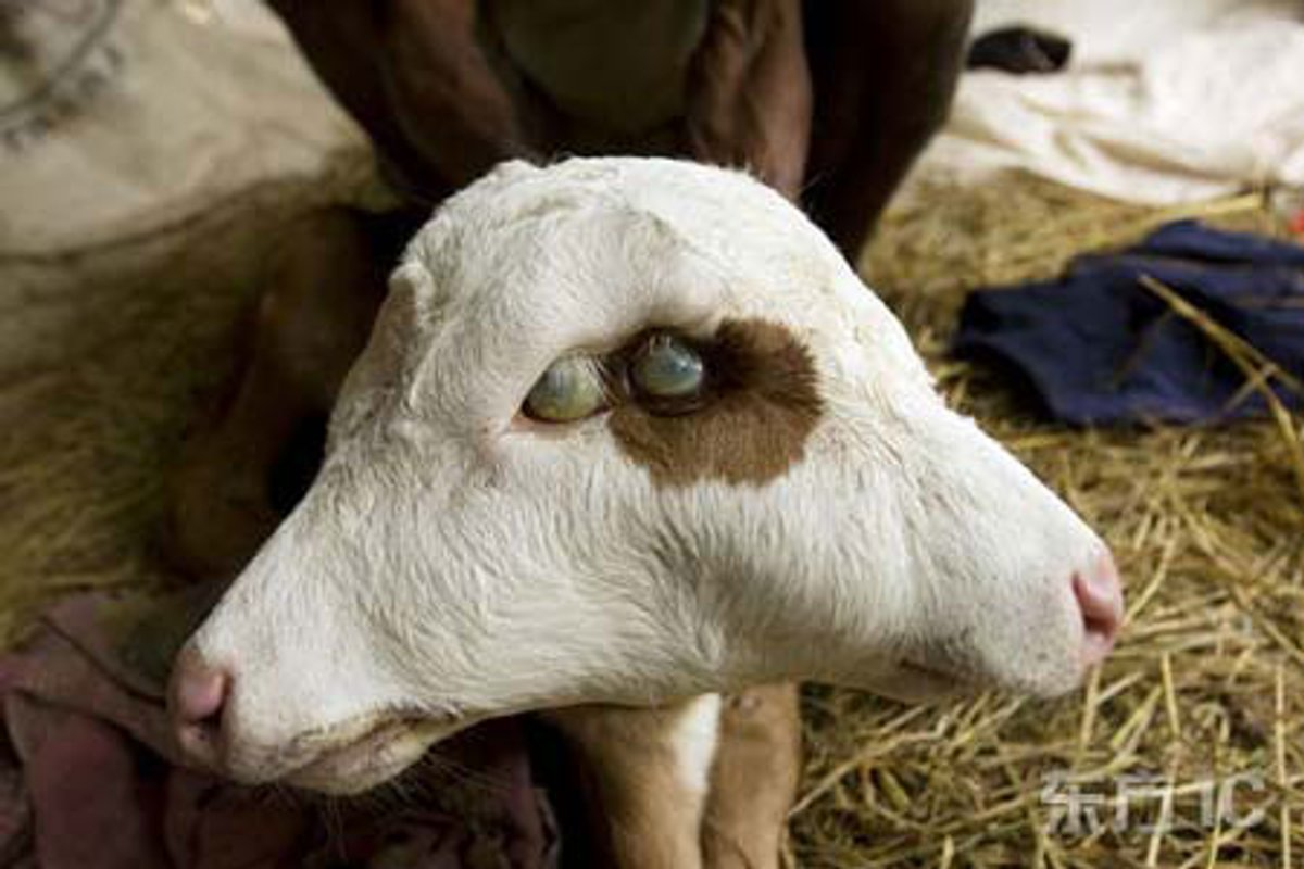 【閲覧注意】世にも珍しい結合双生児の動物、グロじゃないけどちょっとキツい・・・・・(画像)・21枚目