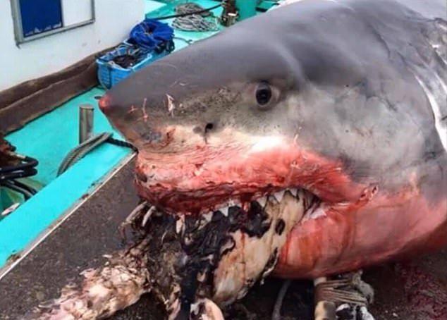 【悲劇】体重2トン越えの超巨大サメさん、ウミガメを喉に詰まらせて窒息死・・・・・(画像)・2枚目