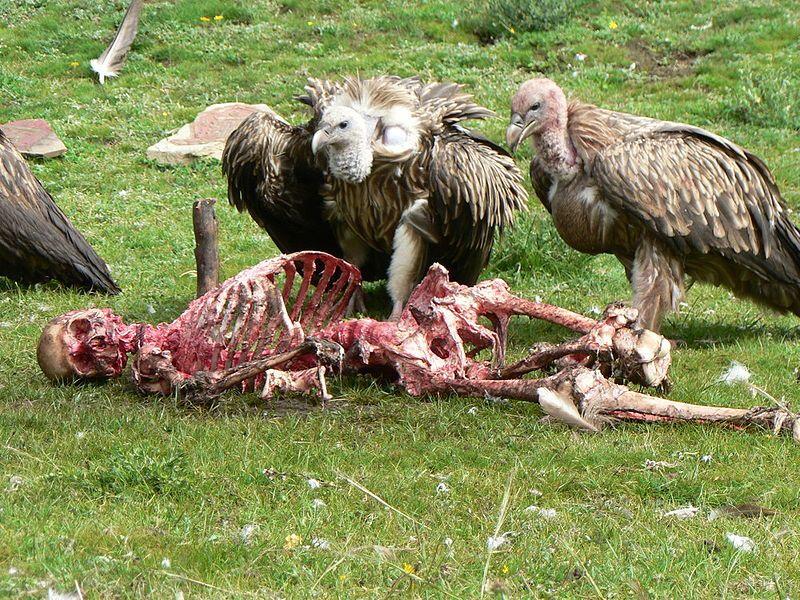 【グロ注意】チベットに今も伝わる鳥葬、文化としてはともかく見た目がグロい・・・・・(画像)・1枚目