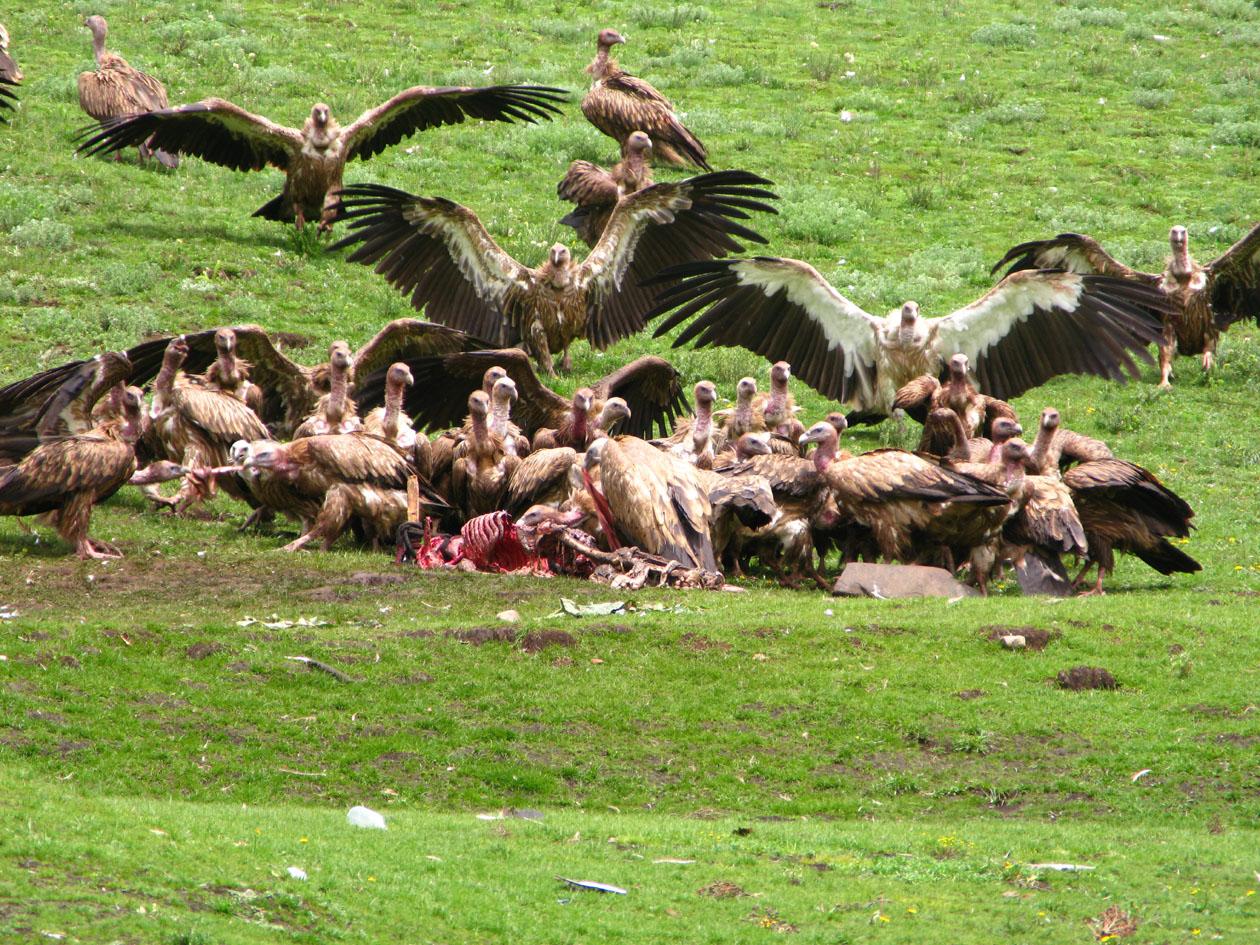 【グロ注意】チベットに今も伝わる鳥葬、文化としてはともかく見た目がグロい・・・・・(画像)・8枚目