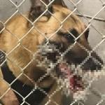【衝撃】勇敢に犯人を追跡したアメリカの警察犬、とんでもない姿になって戻る・・・・・(画像)