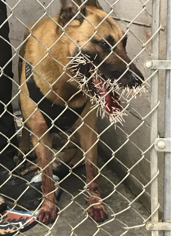 【衝撃】勇敢に犯人を追跡したアメリカの警察犬、とんでもない姿になって戻る・・・・・(画像)・1枚目