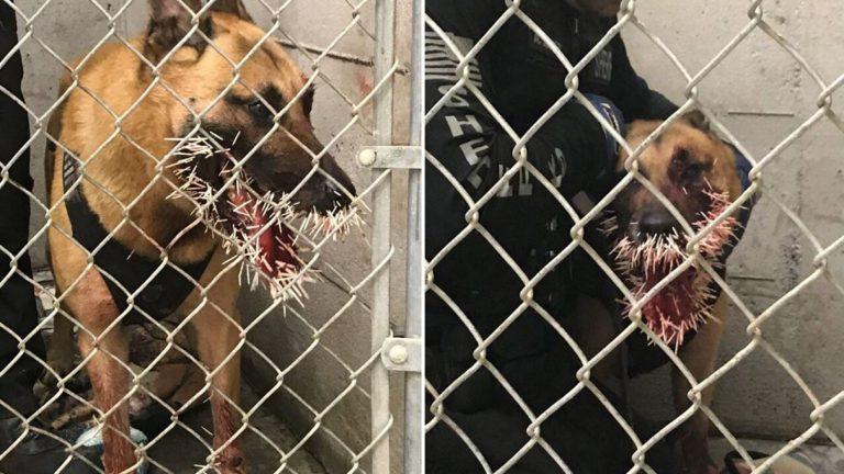 【衝撃】勇敢に犯人を追跡したアメリカの警察犬、とんでもない姿になって戻る・・・・・(画像)・2枚目