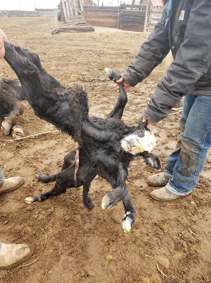 【衝撃】突然変異で生まれた結合双生児の子牛ちゃん、身体がとんでもなく絡まってる・・・・・(画像)・1枚目