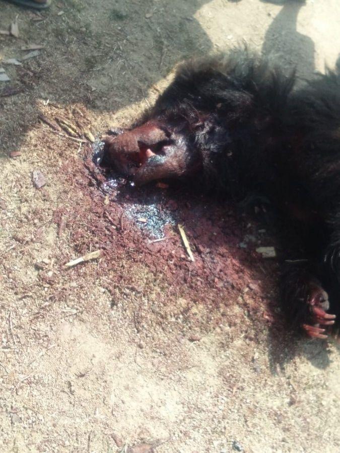 【超閲覧注意】インドで野生の熊に襲われた男性、顔面をグチャグチャにされるも辛うじて生還・・・・・(画像)・5枚目