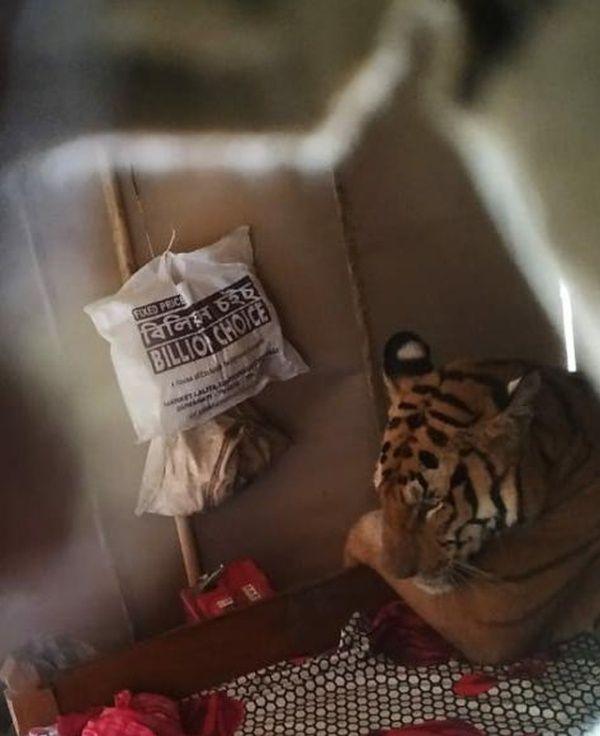 【ほのぼの】棲み処が洪水に見舞われたインドの野生トラさん、民家に侵入してベッドで寛ぐ!!(画像)・1枚目