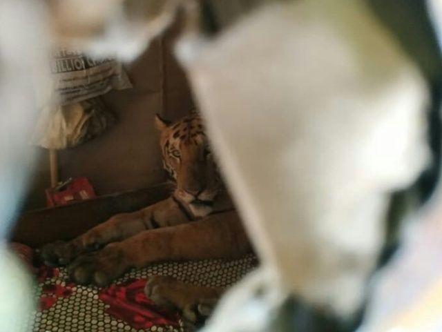 【ほのぼの】棲み処が洪水に見舞われたインドの野生トラさん、民家に侵入してベッドで寛ぐ!!(画像)・2枚目