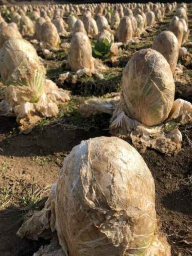 """【納得】収穫されず畑に放置された白菜が""""エイリアンの卵""""みたいだと海外で話題に!!(画像あり)・1枚目"""
