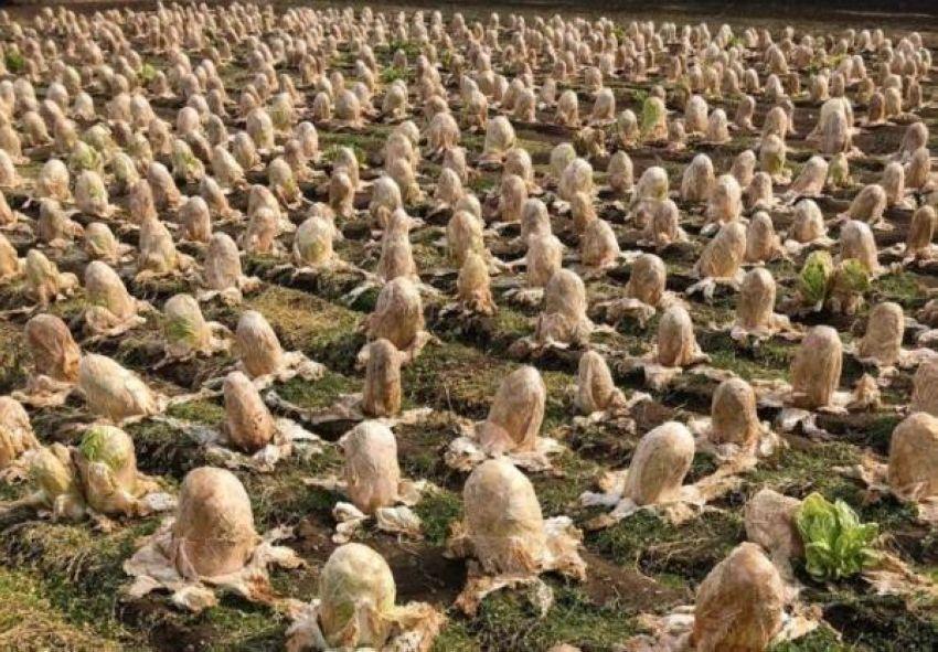 """【納得】収穫されず畑に放置された白菜が""""エイリアンの卵""""みたいだと海外で話題に!!(画像あり)・2枚目"""