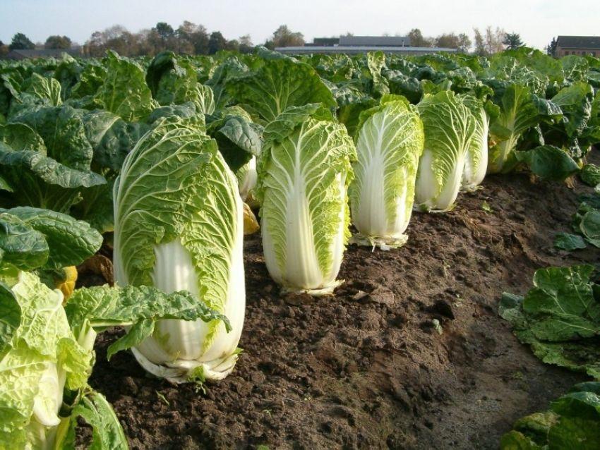 """【納得】収穫されず畑に放置された白菜が""""エイリアンの卵""""みたいだと海外で話題に!!(画像あり)・4枚目"""